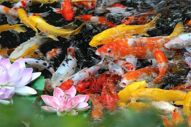 gold fish in pond - teaching kids about invasive species featured image